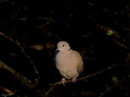 Collard Dove by taramara
