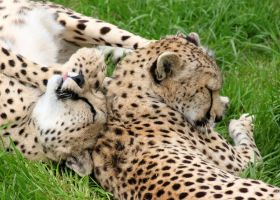 Silly Cheetahs by Jack-13
