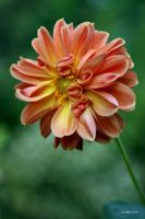 Dahlia dwarf by George---Kirk