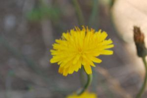 Dandelion Stock 2 by IllusionsGlade