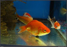 Fish Stock 0025 by phantompanther-stock
