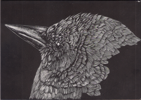 black bird scratchbord (update) by malibar1