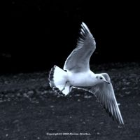 Gull Monochrome 21 by DorianStretton
