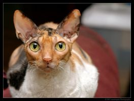 Cornish Rex 1 by mantispid
