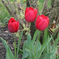 Red Tulip Stock by SilverRiverStock