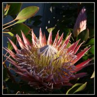 King Protea by elero