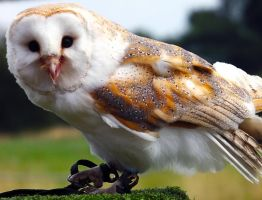 Barn Owl by markeverard