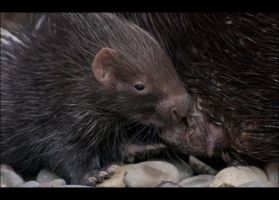 13 Day Old Porcupine by hoboinaschoolbus