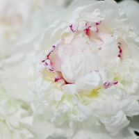 Peony by Camomelle
