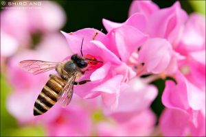 Asian Honey Bee - 01 by shiroang