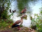 Egyptian Goose Family by Lupsiberg