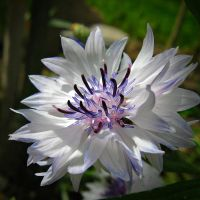 Centaurea - blue and white by miss-gardener