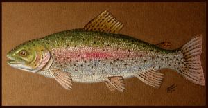 Rainbow Trout by M-Everham