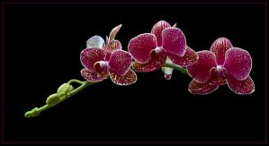 MOTH ORCHIDS 320 by THOM-B-FOTO