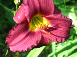 my red daylily by crazygardener