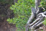 Peregrine falcon by LucieG-Stock