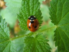 Coccinelle by angelofdisaster