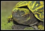 Yellow Striped Turtle by likwidoxigen