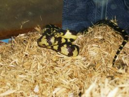 Dizzy the King Snake... by Pi-ray