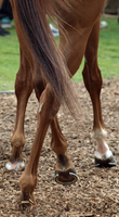 Thoroughbred Legs by photographyflower