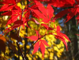 Japanese Maple 12 by crazygardener