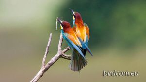 European Bee-eater (Merops apiaster) by BirdCom