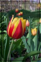 Flamed Tulip -- Red Yellow 1 by MuseSusan