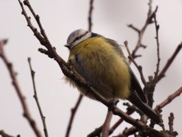 Blue tit 2 by karpatie