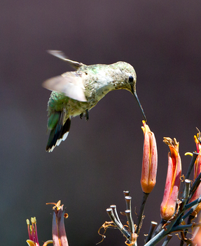 The humming bird XD by giagam