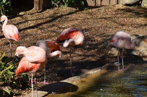 Greater Flamingo 3 by Vesperity-Stock