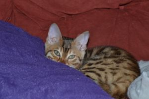 Bengal Cat by Spiremagus-Esquire