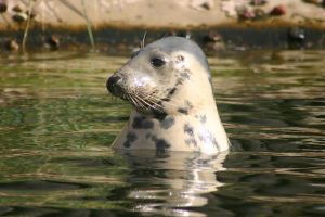 Seal 1 by Ariaocstock
