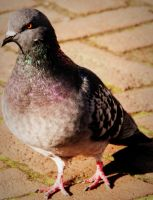 pigeon by Shreever