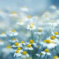 sea of camomile I by miezeTatze