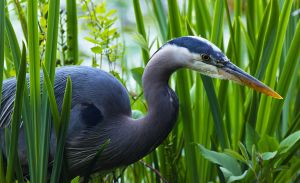 Great Blue Heron by Sheldon100