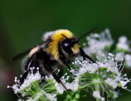 Bumble Bee macro by Artwork-Production