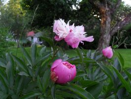 Double Peony Stock by Solace-Grace