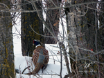 Pheasant in the Trees by Sybaristail