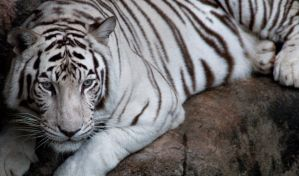 White Tiger Stare by Fohat