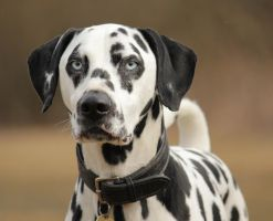 Blue Eyed Dalmation by Doberman4Life