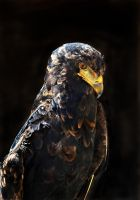 Bateleur Eagle 02 by s-kmp
