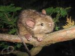 Mouse Plushie - Forest Mouse by Morumoto