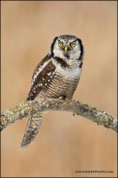 Northern Hawk Owl perched by gregster09