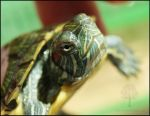 Baby Red-eared Slider by pixelboundstudios