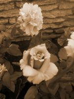 Rose in Sepia by Madnessofthewolf