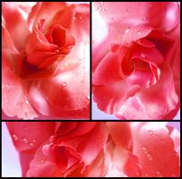 Red Rose by Tienna