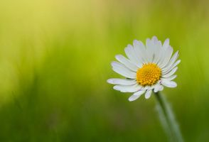 Just a Daisy by Alliec