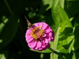 Skipper Butterfly [1 of 2] by Archarugen