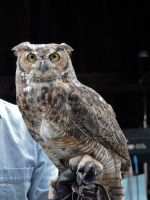 Great Horned Owl II by ixbalam