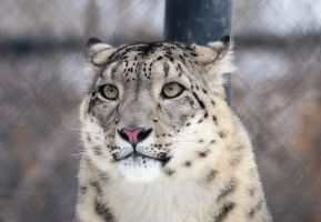 Snow Leopard Animation by Joe-Lynn-Design
